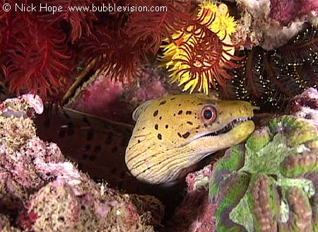 Fimbriated moray eel in burma previous next underwater pictures index
